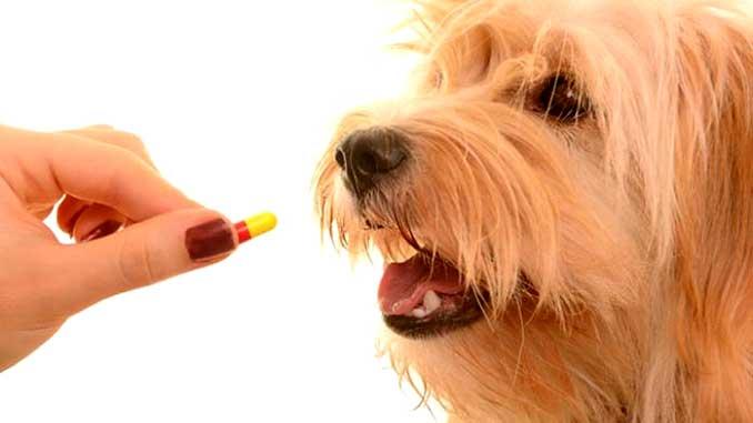 Лечение парагриппа у собак