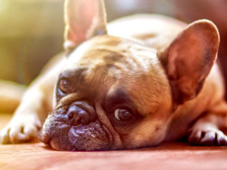 энцефалит у собак