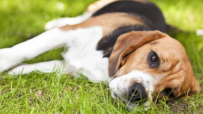 У собаки энцефалит