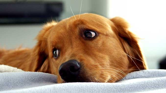 Причины энцефалита у собак