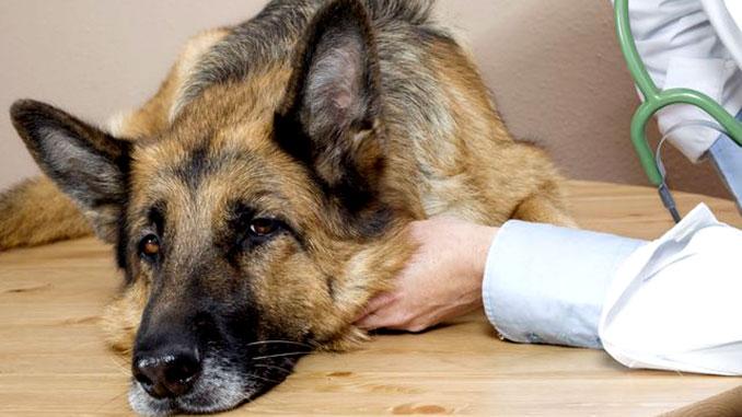У собаки артроз