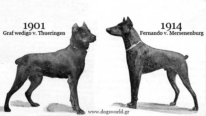 Доберман - история возникновения породы