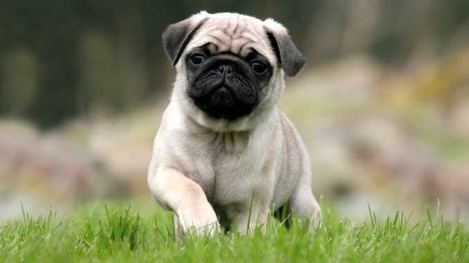 щенок мопса фото
