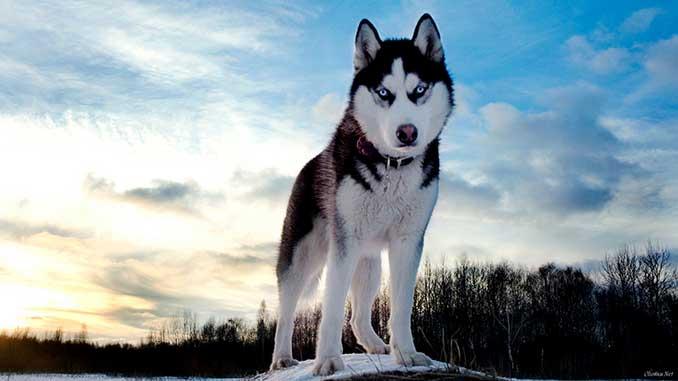 Сибирский Хаски плюсы и минусы породы