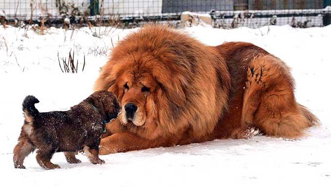 тибетский мастиф со щенком, фото