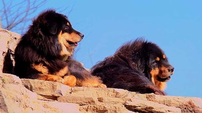 тибетские мастифы, фото