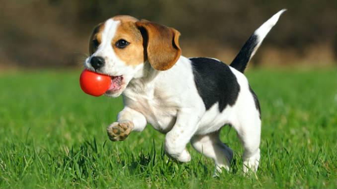 Бигль с мячиком фото