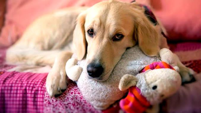 ложная беременность у собак фото