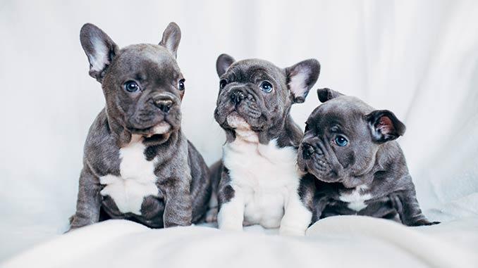 фото щенков французского бульдога