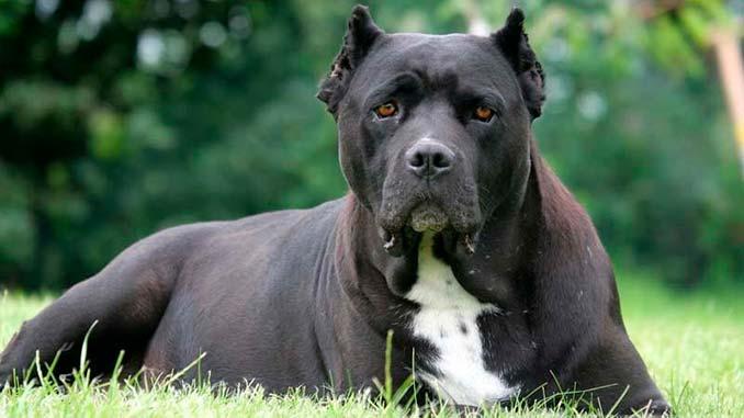 порода собак кане корсо фото