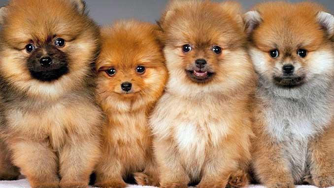 фото щенков померанского шпица