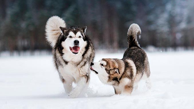 пара собак аляскинский маламут фото