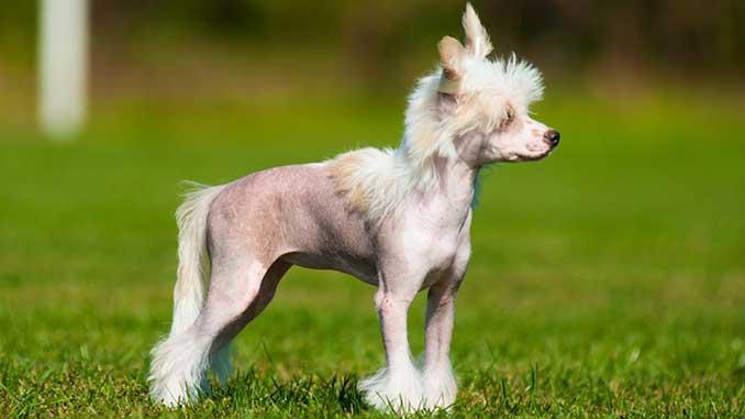 гипоаллергенные собаки - китайская хохлатая