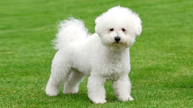 Бишо Фриз -гипоаллергенная собака