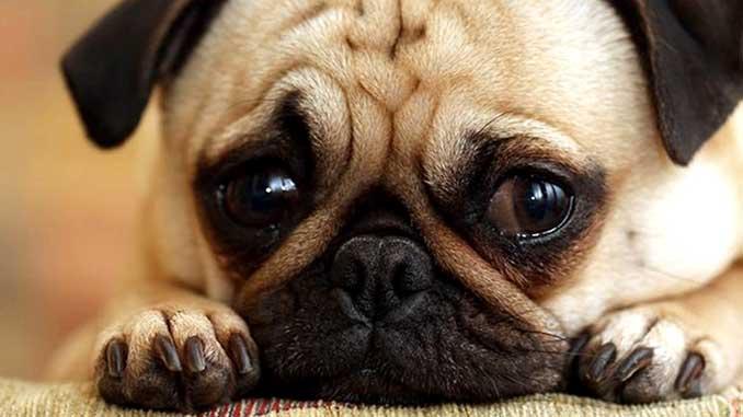 Диагностика катаркты у собак фото