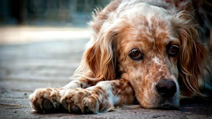 собака заболела чумкой