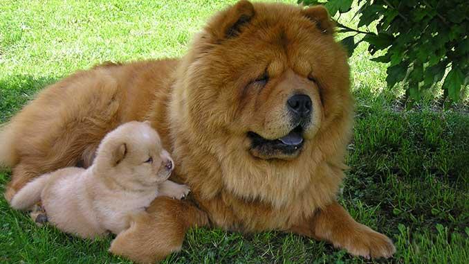 чау чау фото со щенком