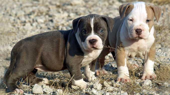 фото щенков американского питбультерьера