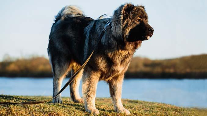 порода собак кавказец фото