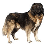 фото собаки кавказец