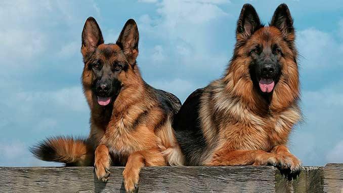 пара немецких овчарок фото