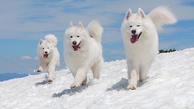 самоедские собаки фото