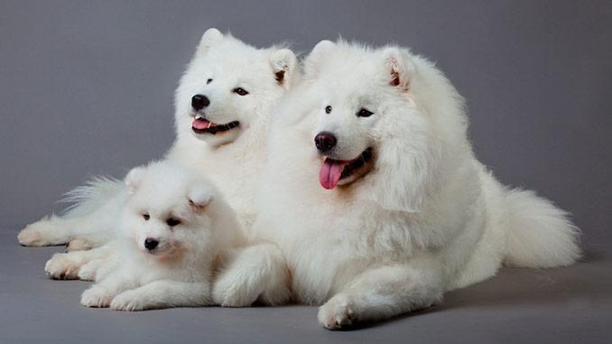 фото самоедской собаки