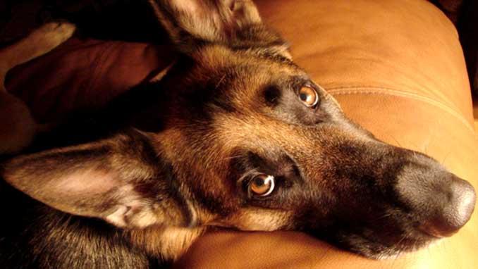 симптомы коронавируса у собак