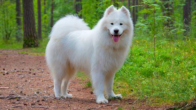 самоедская порода собак фото