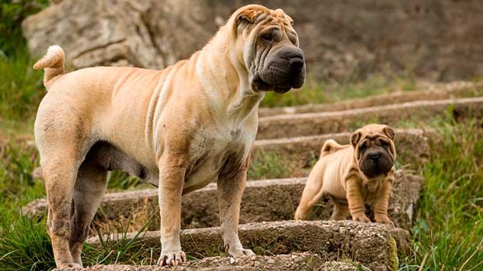 шарпей и щенок шарпея фото