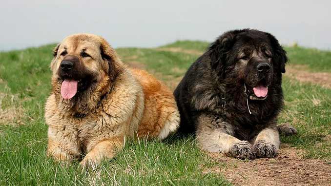 кавказская овчарка фото собак