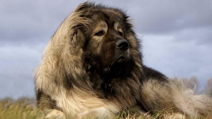 порода кавказская овчарка фото