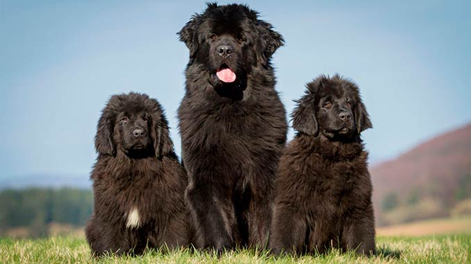 ньюфаундленд фото со щенками