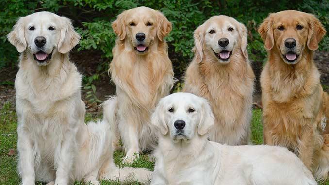 собаки золотистого ретривера фото