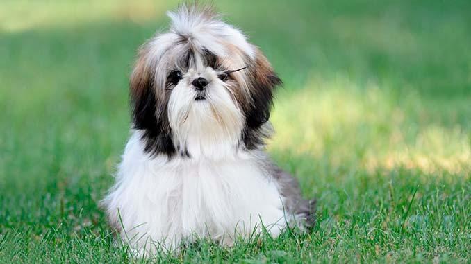фото собак породы Ши-тцу