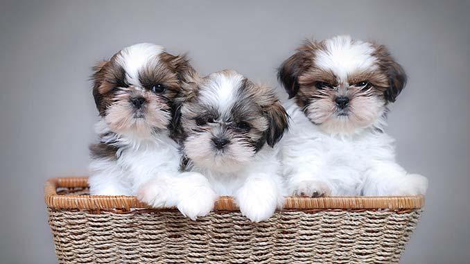 Ши-тцу фото щенков