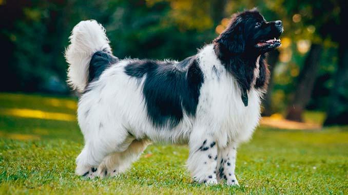 собака ньюфаундленд фото