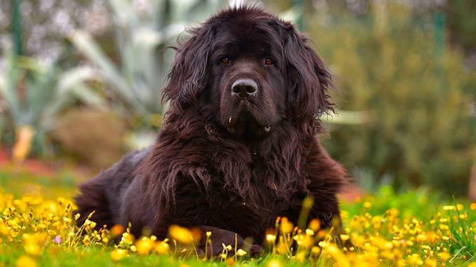 порода собак ньюфаундленд фото