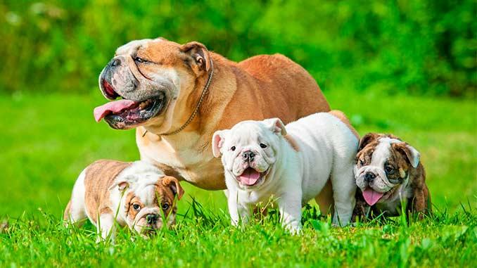 фото щенков английского бульдога