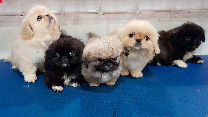 фото щенков пекинеса