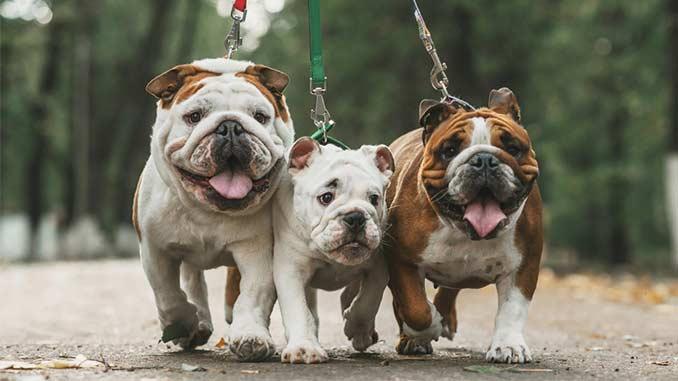 собаки английского бульдога фото