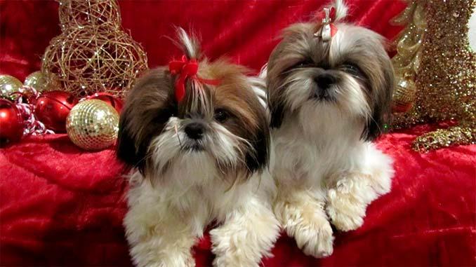 пара собак породы Ши-тцу фото