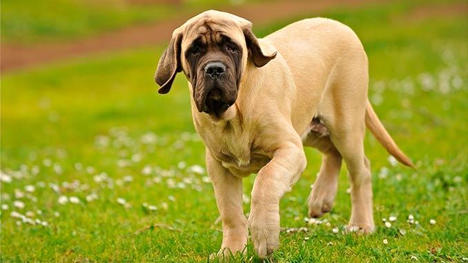 фото щенка английского мастифа