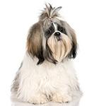 Ши-тцу фото взрослой собаки