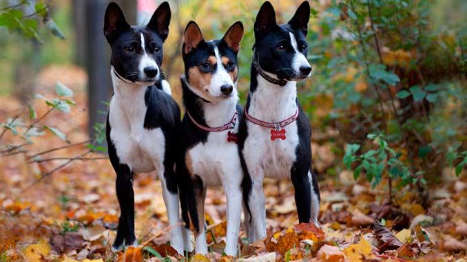 фото собак породы Басенджи