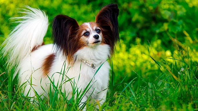 порода собак Папильон фото