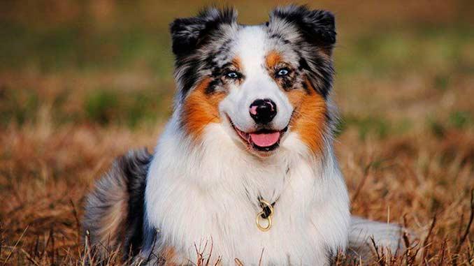 фото собаки породы австралийская овчарка