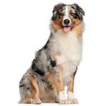 фото взрослой собаки породы Австралийская овчарка