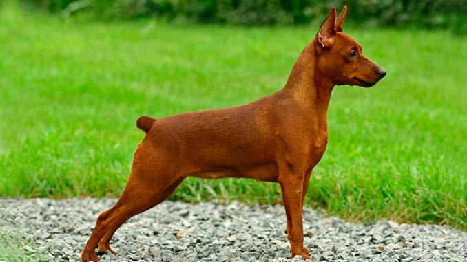 фото собаки карликовый пинчер