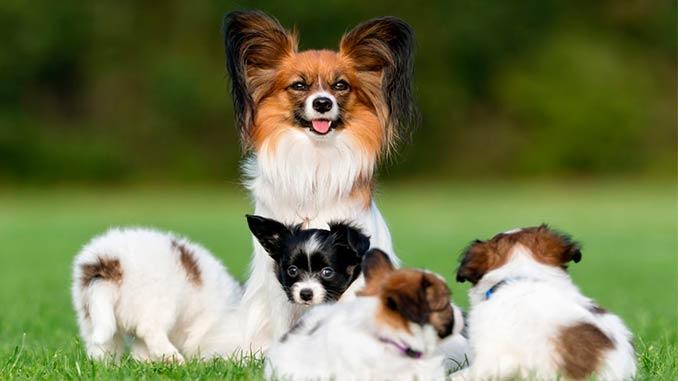 фото Папильона со щенками